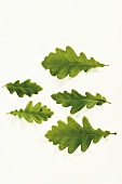 Five fresh green oak leaves of different sizes