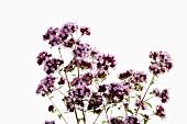 Pinkish-purple marjoram flowers