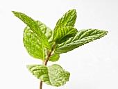 A sprig of fresh mint