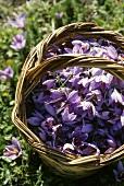Picked saffron crocuses in a basket