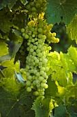 Trebbiano grapes on the vine, Villa Pillo Estate, Tuscany, Italy