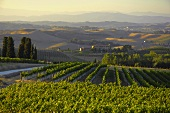 Vineyard of Villa Pillo Estate, Tuscany, Italy