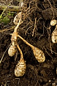 Jerusalem artichokes in the soil