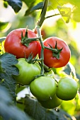 Ripe and unripe tomatoes on the plant