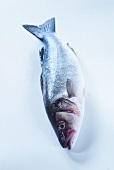 A fresh sea bass on pale blue background