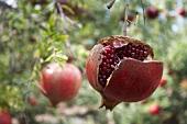 Ein aufgebrochener Granatapfel am Baum