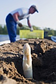 Asparagus harvest: white asparagus poking out of the soil
