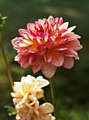 Different coloured dahlias