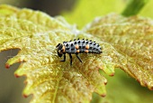 Ladybird larva on a vine leaf