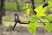 An old wire tensioner with young vine shoot