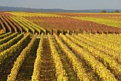 Autumn in a vineyard near Wachenheim, Palatinate, Germany