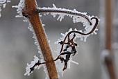 Hoar frost on a grapevine