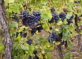 Dornfelder grapes on vines