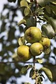 'Gelbmöstler' pears on the tree
