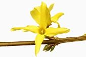 Forsythia flowers (Forsythia intermedia suspensa)