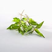 Vietnamese coriander (Thailand)