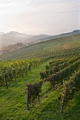 Weinberge bei Barolo, Piemont, Italien