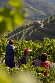 Women picking grapes, Quinta do Crasto, Portugal