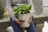 Woman holding ramsons (wild garlic) in bucket