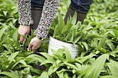 Picking ramsons (wild garlic)