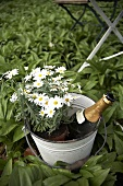 Marguerites and champagne in metal bucket