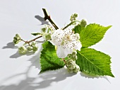 Spray of blackberry flowers