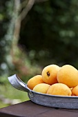 Several apricots in metal dish on table out of doors