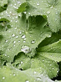 Lady's mantle with drops of water