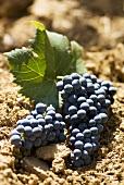 Alfrocheiro grapes on soil