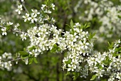 Blackthorn (Sloe) in blossom