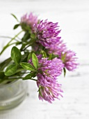Red clover (flowering)