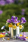 Crocuses in a tin watering can