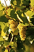 Ripe white wine grapes on vine (Grüner Veltliner, Bisamberg, Austria)