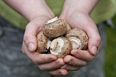 Hands holding chestnut mushrooms