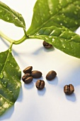 Coffee beans and leaves of the coffee plant