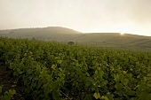 Champagne vines near Cumières, France