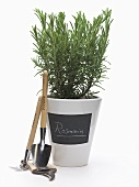 Pot of rosemary with garden tools