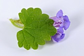 Ground ivy flowers and leaf