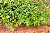 Rupturewort (Herniaria glabra)