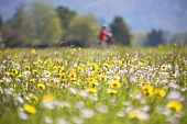 Spring flower meadow with cyclist in background