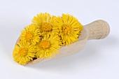 Coltsfoot flowers (Tussilago farfara) in scoop
