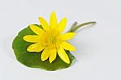 Lesser celandine (Ficaria verna, Ranunculus ficaria)