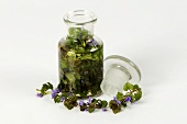 Fresh ground ivy (Glechoma hederacea) in apothecary bottle