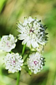 Astrantia, flowering