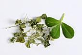 Fenugreek leaves (fresh and dried)