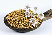 Coriander seeds with flowers on wooden spoon