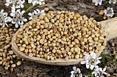 Coriander (seeds on wooden spoon, flowers)