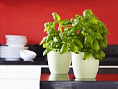 Two pots of basil on kitchen worktop
