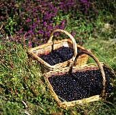 Two baskets of bilberries
