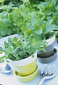 Thyme and borage in flowerpots on garden table